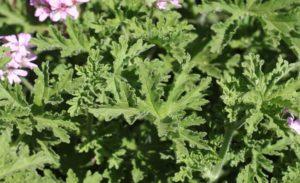 Geranium_Pelargonium Graveolens